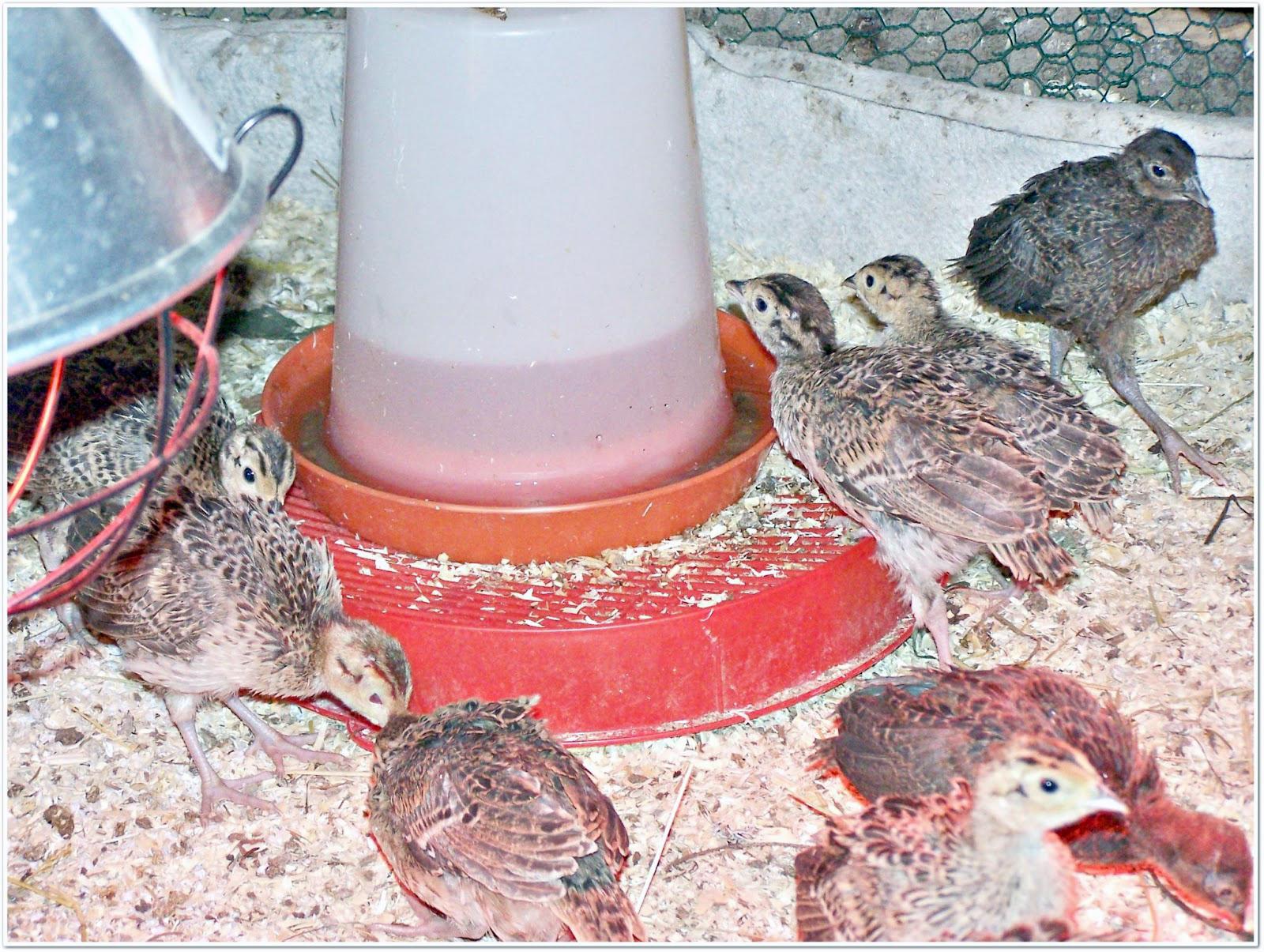 Fasaanien muninnan ja poikaserien aikataulusta